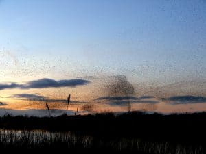 somerset_starling_spectacular